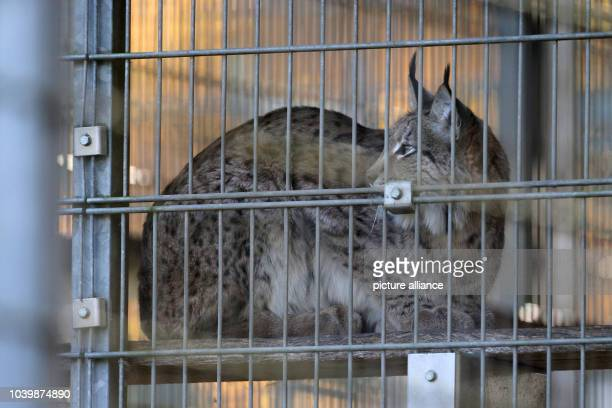 The lynx that broke out of the zoo 'Marie' rests in her pen in Niederfischbach Germany 14 November 2016 She could be recaptured uninjured after two...