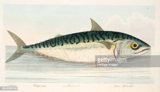 The Mackerel from A Treatise on Fish and Fishponds pub 1832