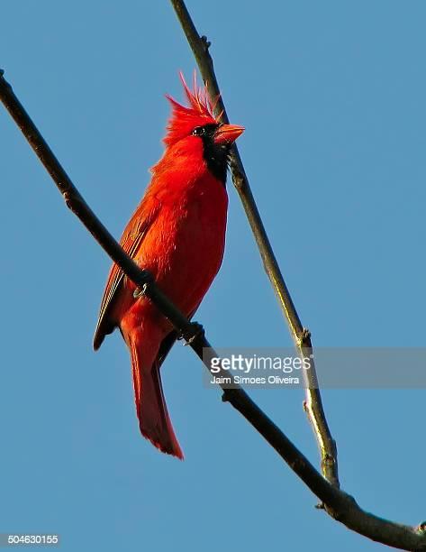 the magestic northern cardinal - blue cardinal bird stock pictures, royalty-free photos & images