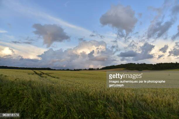 The majestic wheat field under evening light after passage of thunderstorm
