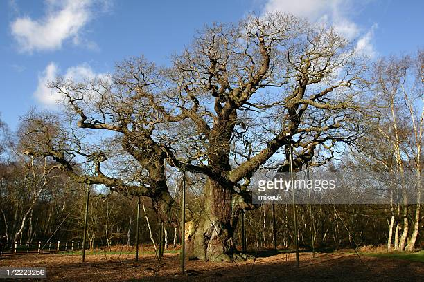 the major oak tree of sherwood forest england - nottingham stock photos and pictures