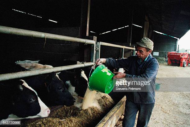 The majority of food for milking cows is corn based with a flour suppliment   Location StGeorgesdelaCouee France