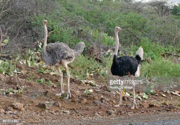 the male and female ostrich. struthio camelus, lake baringo, kanya - flightless bird stock photos and pictures