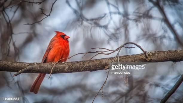 the male cardinal. - cardinal bird stock pictures, royalty-free photos & images