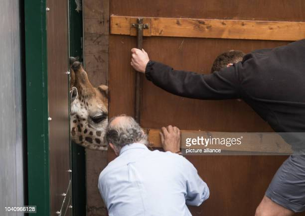 The male giraffe Helios is led from his cage into a special trailer by animal caretakers at the Zoom theme park in Gelsenkirchen Germany 3 April 2017...