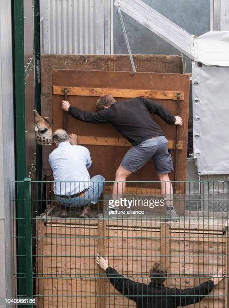 The male giraffe 'Helios' is led from his cage into a special trailer by animal caretakers at the Zoom theme park in Gelsenkirchen Germany 3 April...
