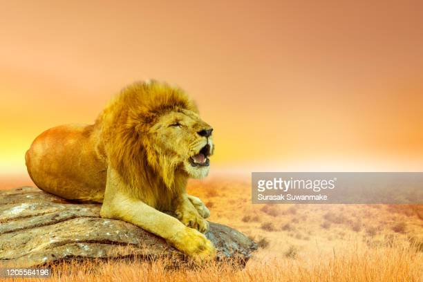 the male lion is on a rock in a vast grassland. (protecting wildlife) - lion stock pictures, royalty-free photos & images