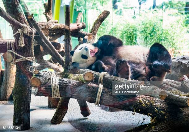 The male panda Jiao Qing hase a snooze before being presented with a birthday cake in its enclosure at the Berlin Zoo on July 15, 2017. The...