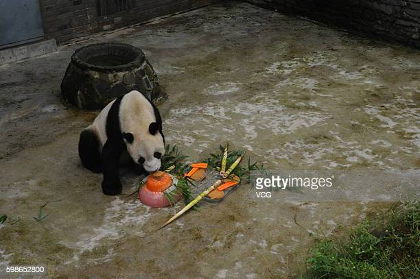 The Eldest Panda Celebrates His 31 Year Old Birthday In Chengdu