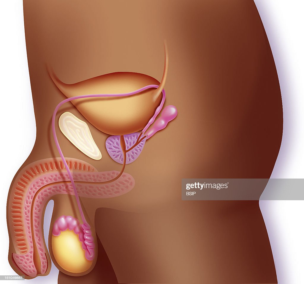 The Male Reproductive System Illustration Of A Cross Section Of The
