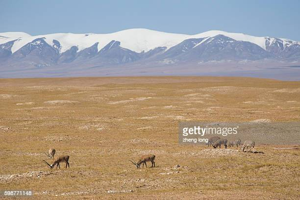 the male tibetan antelope in wild,hoh xil - qinghai province stock photos and pictures
