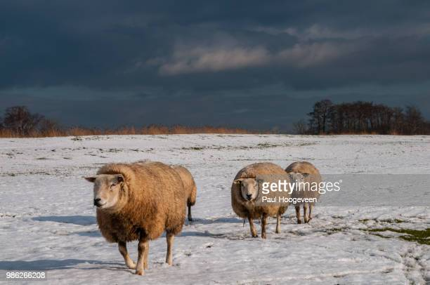 the march of the sheep - hoogeveen stock pictures, royalty-free photos & images