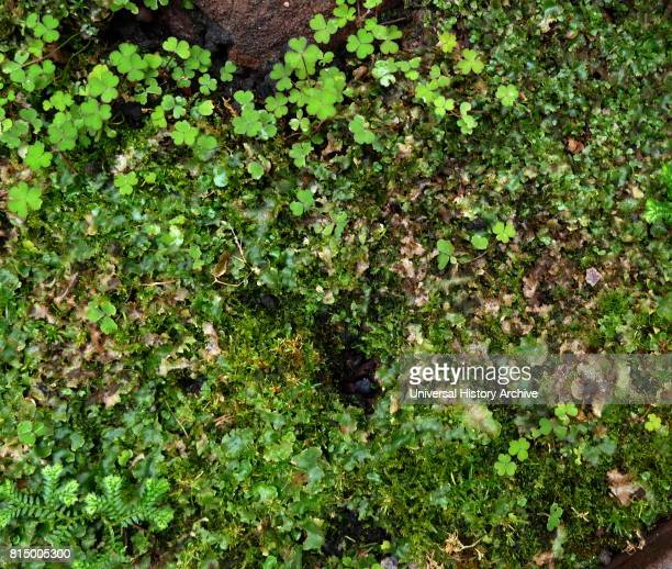 The Marchantiophyta are a division of nonvascular land plants commonly referred to as hepatics or liverworts Like mosses and hornworts they have a...