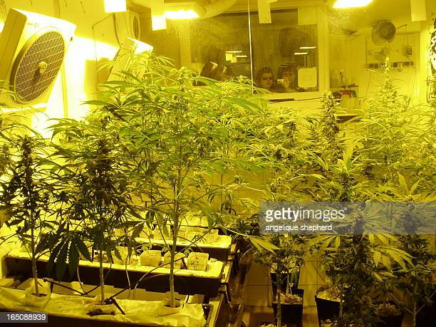 The marijuana growing room at the Amsterdam Hash Museum showing cannabis plants from seedlings to fully grown, and two happy onlookers