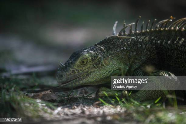 The marine iguana is seen at the Johnny Cay Regional Park, home to a wide variety of Iguanas in San Andres Islands, Colombia on December 16, 2020....