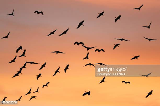 the marne. the high marne. lake of der. migration of the ashy cranes. the famous rising of cranes ashed at the time of the paddle. - wader bird stock photos and pictures