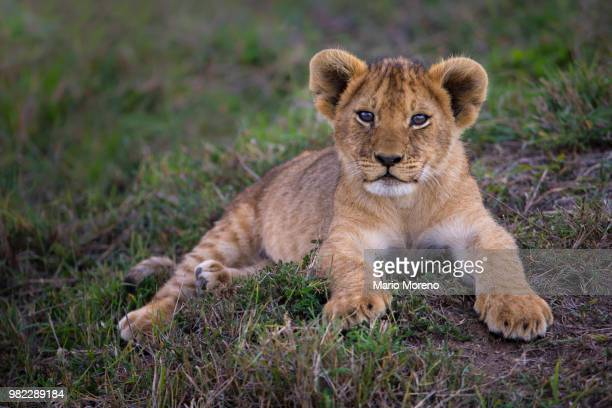 the marsh cub - lion cub stock photos and pictures