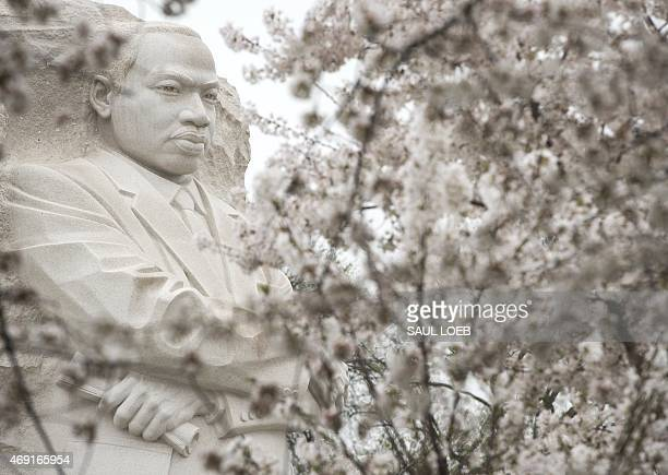 The Martin Luther King Jr Memorial is seen around cherry trees as they blossom around the Tidal Basin on the National Mall in Washington DC April 10...