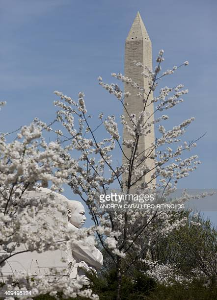 The Martin Luther King Jr memorial is seen through blossoming cherry trees with the Washington monument in the background in Washington DC on April12...