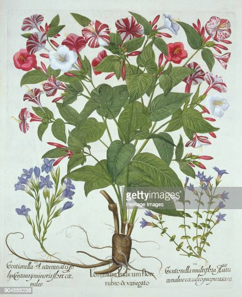 The 'Marvel of Peru' and Two Varieties of Gentian from 'Hortus Eystettensis' by Basil Besler 1561 I Iasminum Indicum flore rubro variegato II...