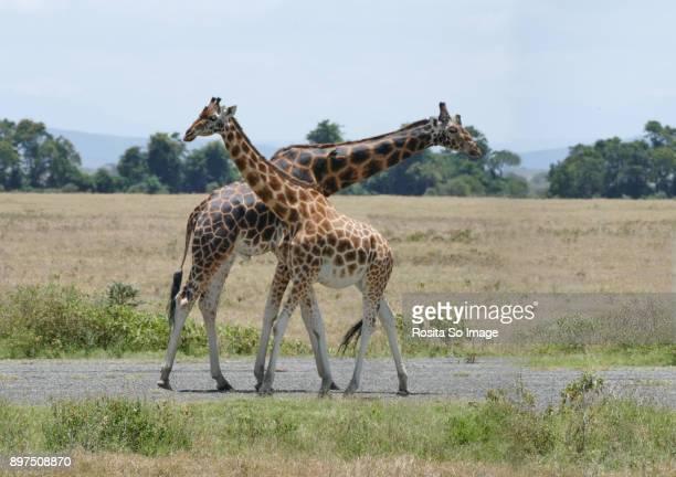 the masai giraffe, giraffa camelopardalis tippelskirch, nakuru np, kenya - lake nakuru - fotografias e filmes do acervo