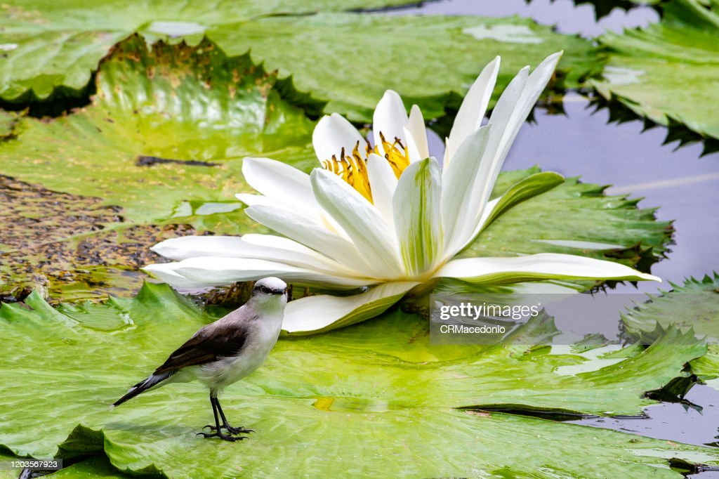 The masked water tyrant  is a bird that lives with water lilies, embellishing parks and gardens around the world. : Stock Photo