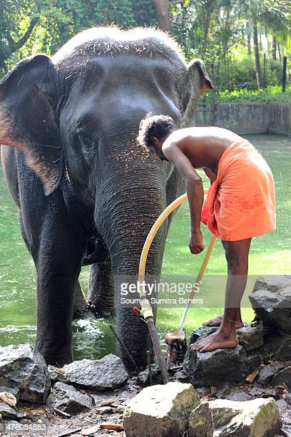 CONTENT] The Master takes a great care of this kid Elephant making it bath and feeding it water at Elephant Sanctuary Guruvayur Kerala