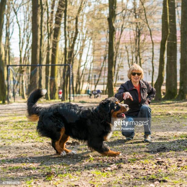 The mature, 50-years-old, attractive woman playing with the huge Bernese Mountain Dog in the park - throwing the ball