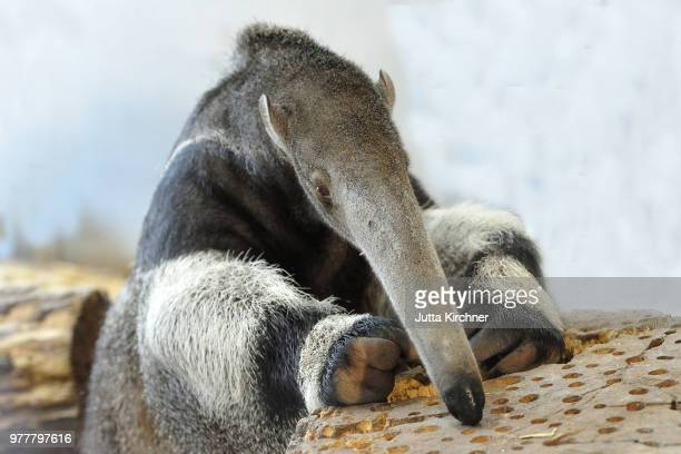 the meal - giant anteater stock pictures, royalty-free photos & images