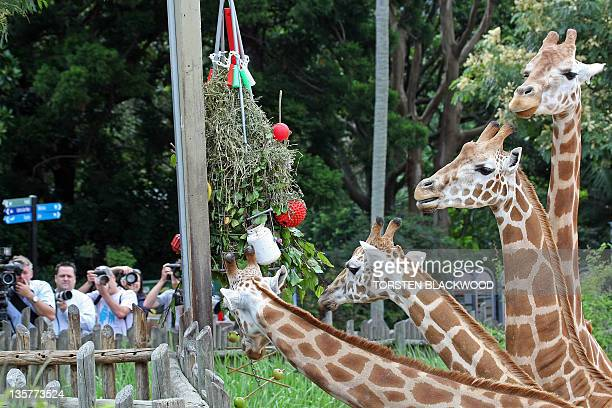 The media watch giraffes munch on their Christmas tree made of giraffe browse and decorated with smear bottles and toys during festivities at Taronga...