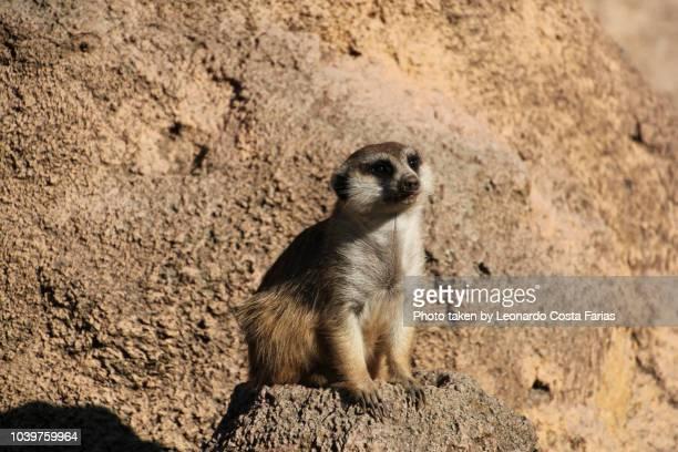 the meerkat - leonardo costa farias stock photos and pictures