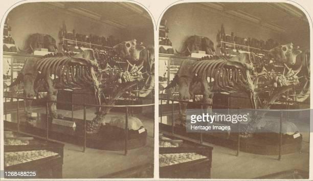 The Megatherium, British Museum, 1850s. Artist Roger Fenton.
