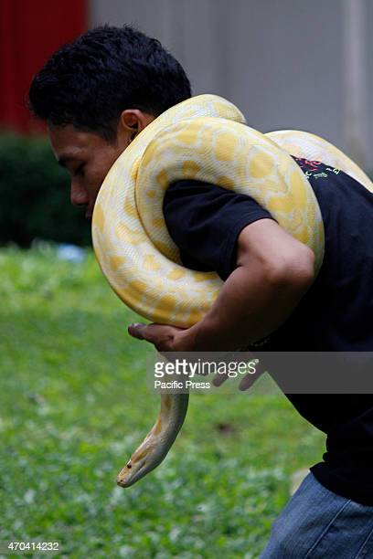 The member of the reptile Community carry their pets during a gathering in East Jakarta, Indonesia on April 19, 2015. Albino Burmese pythons are one...