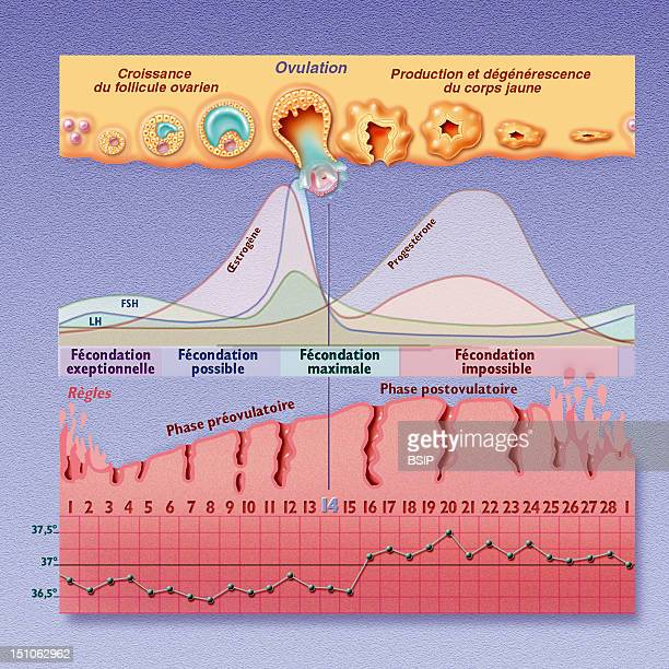 The Menstrual Cycle And Periods Of Fecundity From The Top To The Bottom Ovarian Cycle Uterine Cycle And Curve Of Temperature The Menstrual Cycle Is...