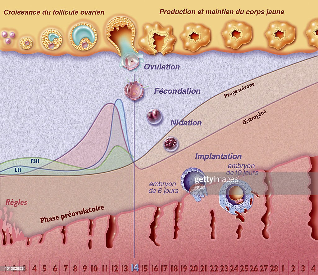 The Menstrual Cycle With Fertilization. From The Top To