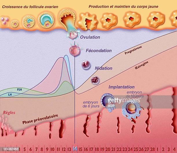 The Menstrual Cycle With Fertilization From The Top To The Bottom Ovarian Cycle Hormonal Cycle And Uterine Cycle The Menstrual Cycle Is Divided Into...