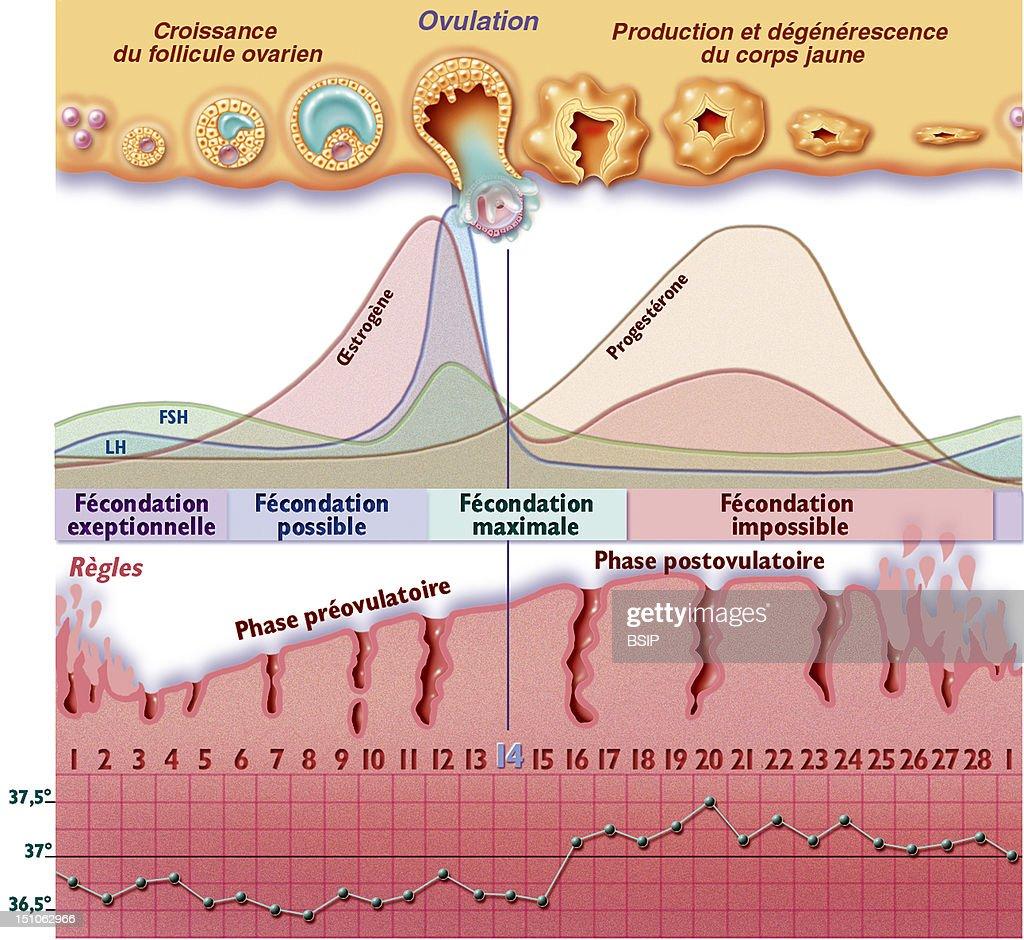 Menstrual Cycle, Drawing : News Photo