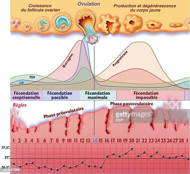 The Menstrual Cycle With Periods Of Fecundity From The Top To The Bottom Ovarian Cycle Hormonal Cycle And Curve Of Temperature The Menstrual Cycle Is...