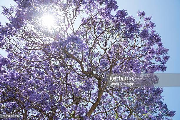 The midday sun shines thorugh the Jacaranda trees on McDougall Street in the north Sydney suburb of Kirribilli on November 10 2016 in Sydney...