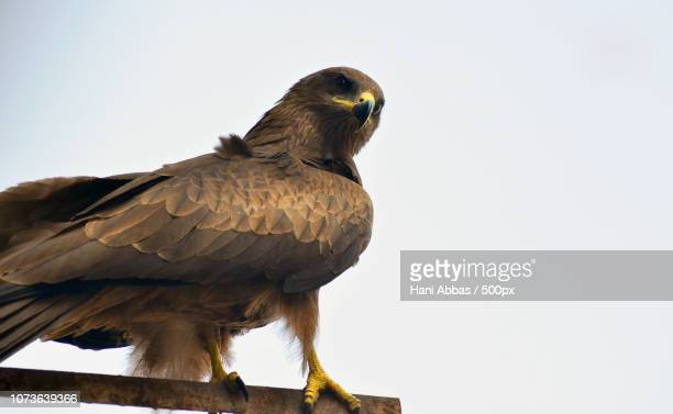 The Mighty Kite (Eagle)
