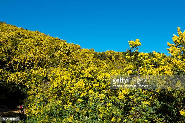 the mimosa forest, massif of tanneron, var,french riviera, france - mimosa fiore foto e immagini stock