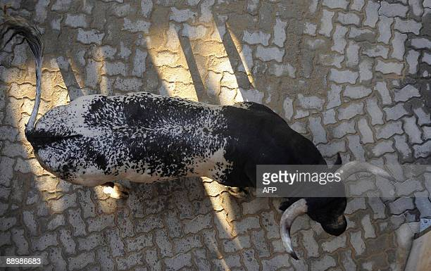 The Miura fighting bull name Hermita is pictured after goring a man and injuring him seriously during the sixth run of the bulls of the San Fermin...