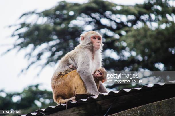 the monkey family - the storygrapher stock pictures, royalty-free photos & images