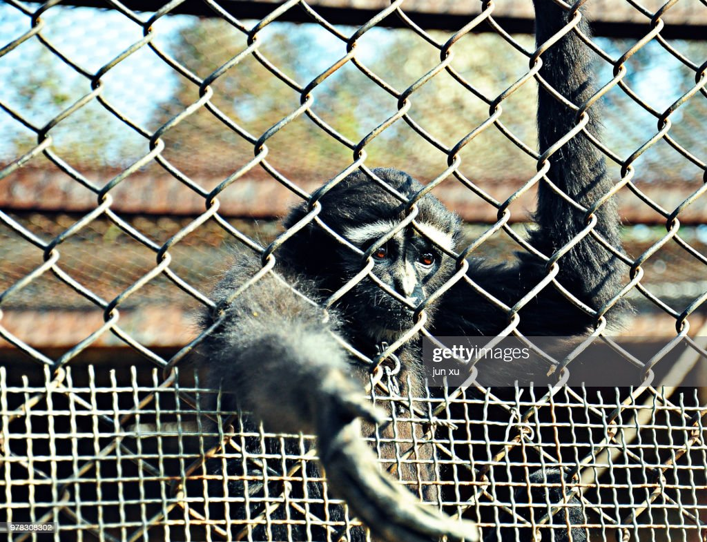 The monkey in the wire fence : Stockfoto
