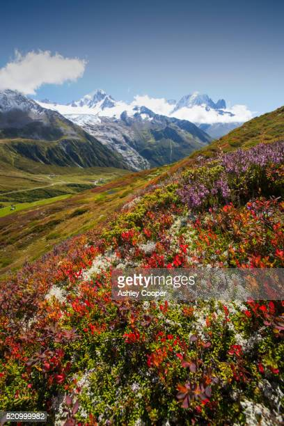 the mont blanc range from aiguillette des posettes with bilberry plants colouring up in late summer. - colouring bildbanksfoton och bilder