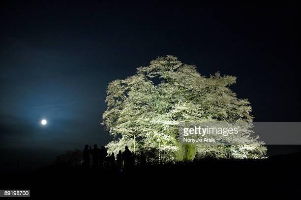 the moon and cherry blossoms - präfektur okayama stock-fotos und bilder