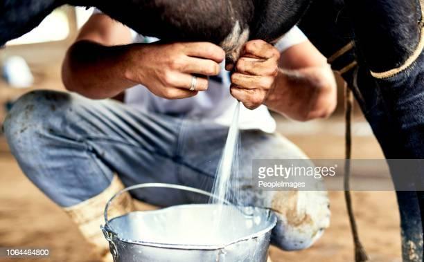 je entspannter ist die kuh, die mehr milch erhalten sie - mann beim melken stock-fotos und bilder