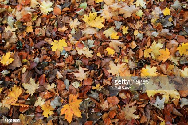 The morning light illuminates autumn leaves that have already fallen from trees on November 1, 2011 in Bath, England. According to a number of nature...