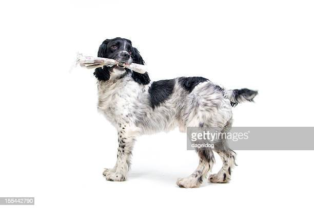 the morning news - springer spaniel stock pictures, royalty-free photos & images
