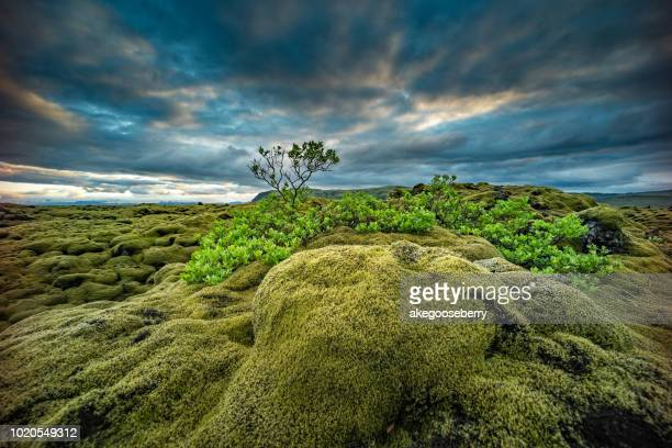 the mossy lava fields of iceland - lava plain stock pictures, royalty-free photos & images